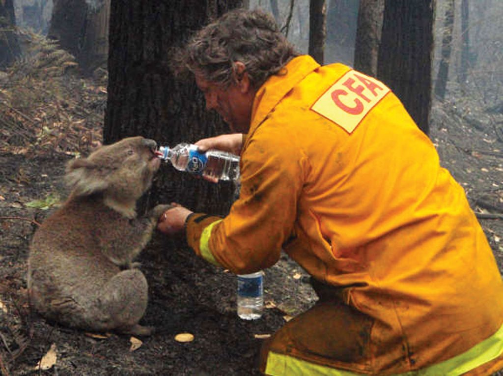 Giving a koala water during a bushfire
