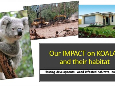 Koalas And Their Habitat